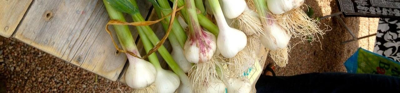 F2R Onions e1413986428338 Home